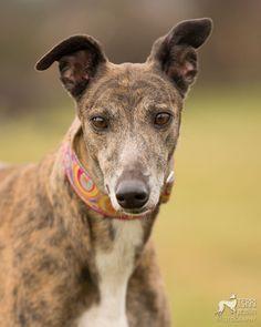 Cedar the greyhound