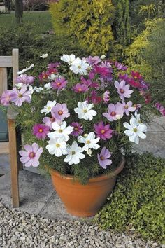 Cosmos 'Sonata Hot Pink Mixed' - Large, daisy-like flowerheads, that come in an array of white and pink shades, appear non-stop throughout the summer and right up until the first frosts. Superb as border plants, they will also flourish in large pots - and their fine, feathery foliage is also attractive.