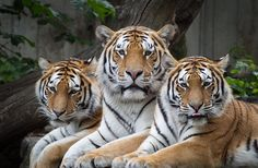 Amur tigers (by Rune..)