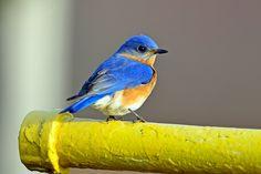 beautiful Eastern Bluebird