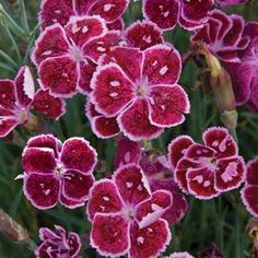 Buy Dianthus Fire and Ice Perennial Plants Online. Garden Crossings Online Garden Center offers a large selection of Pinks Plants. Shop our Online Perennial catalog today!