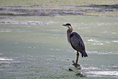 Great Blue Heron (Ardea herodias) - Photo by Wayne Rasmussen - http://minnesotaseasons.com/Birds/Great_Blue_Heron.html