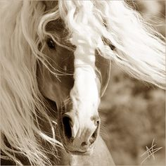 harness carriage draft horse Gyspy Vanner belgian cob shire hafflinger fiord