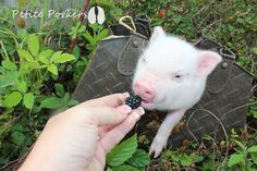 Mini teacup micro nano pet pigs Little Piggies - petite porkers