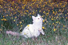 cat playing on the meadow Photos cute white fluffy cat playing on the meadow with flowers.toned by Roo Ivan