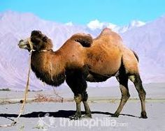 Ride Double humped Camel with Ladakh Destination. Enjoy camel riding with Family and friends.