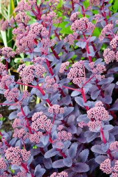 Long lived and drought tolerant, award-winner Sedum 'Purple Emperor' is a lovely sight in the landscape with its masses of rosy-pink flowers, densely packed in large umbrella-shaped flowerheads, and showing off atop bright reddish-purple stems clad with dark purple, fleshy leaves