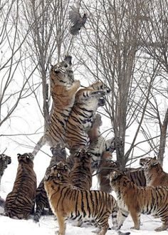 "Büyük kediler""Endangered Siberian tigers try to reach for a wild bird that was tossed in by the game ranger and flew out of their reach at the Harbin Tiger Park in Harbin, China."" Photo by Ng Han Guan - AP. (Photo in the slide show. Animals And Pets, Funny Animals, Cute Animals, Wild Animals, Baby Animals, Nature Animals, Beautiful Cats, Animals Beautiful, Majestic Animals"