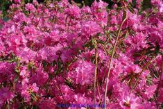 Rhododendron mucronulatum Boskoop Ostara