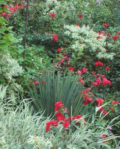 "Flower Carpet Scarlet with euphorbia ""snow-on-the-mountains"" in Kathy Skarr's garden in Milwaukee."