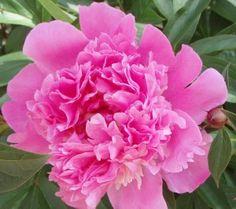 peony-flowers