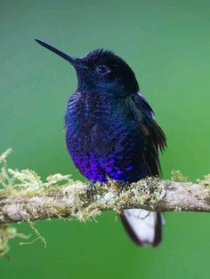 Velvet Purple Coronet The velvet-purple coronet is a species of hummingbird in the Trochilidae family. It is found in humid foothill forest on the West Andean slope in western Colombia and north-western Ecuador All Birds, Little Birds, Love Birds, Pretty Birds, Beautiful Birds, Animals Beautiful, Exotic Birds, Colorful Birds, Colorful Feathers