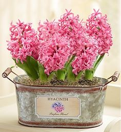 Our pearl hyacinth bulbs will have everyone getting excited for spring! Delicately arranged in a vintage galvanized tin planter full of country charm, they'll bloom and grow to display beautiful pink flowers in just a few weeks, making this the perfect gift idea for any avid gardener.