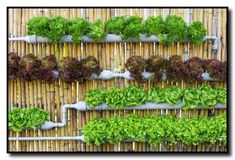 Verticle garden wall with full irrigation system. Verticle garden wall with full irrigation system. Hydroponic Vegetables, Hydroponic Farming, Hydroponics System, Aquaponics Fish, Aquaponics Greenhouse, Hydroponic Lettuce, Hydroponic Growing, Verticle Garden Wall, Gutter Garden