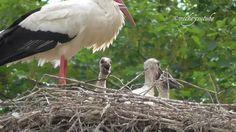 Stork Babies In Their Nest