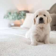 Good Morning!!! https://www.instagram.com/goldenretrieverpage/ #goldenretrieverpage #goldenretriever #goldenretrievers #goldenretrieversofinstagram #goldenpuppy #goldenpuppies #goldenretrieverlove #ilovedogs #ilovegolden_retrievers #retriever #retrieversofinstagram #goldenretrieverworld #puppydog #puppies #puppy #dogs #dog #dogworld #animals #animal #love #lovedog #instagram #instaanimal #instaanimals #instadog #beautiful