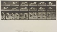 Eadweard Muybridge (American, b. England, 1830-1904)  Plate 710 from Animal Locomotion, 1887  'Maggie' galloping.   Collotype on paper, 13-11/16 x 19-9/16 in.   Gift of Mrs. Jill Tane.  1994.8.36