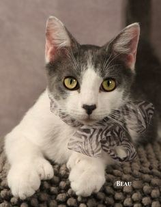 06/15/14~~Beau Extra-Toes Cat (Hemingway Polydactyl)  Domestic Short Hair - gray and white Mix • Baby • Male • Small Animal Welfare Society of Kerr C...