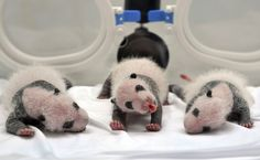 """The baby panda triplets, who were born on July 29 at Chimelong Safari Park in Guangzhou, are 20 days old on Aug. Giant panda """"Ju Xiao"""" gave birth to three panda cubs, who are the first alive giant panda triplets in the world. Guangzhou, Baby Animals, Cute Animals, Baby Pandas, Giant Pandas, Pretty Animals, Animal Babies, Panda Bebe, Born In China"""