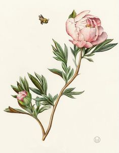 A botanical illustration collection by Wendy Hollender of various flowers. See the full collection and alphabetical list. These botanical art pieces have been created using watercolor and colored pencils. Flowers Illustration, Abstract Illustration, Gravure Illustration, Illustration Blume, Floral Illustrations, Daisy Flower Drawing, Peony Drawing, Flower Art, Flower Drawings