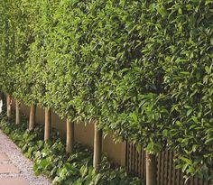 Ficus Hedge - Pleached
