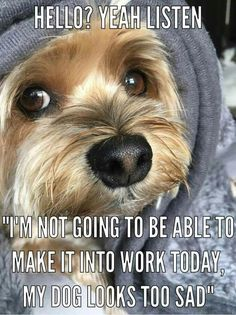Yorkshire Terrier – Energetic and Affectionate Yorshire Terrier, Silky Terrier, Bull Terriers, Cute Puppies, Cute Dogs, Dogs And Puppies, Spaniel Puppies, Poodle Puppies, Awesome Dogs