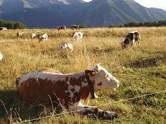mucche di montagna! mucche in montagna, #montagnamucche