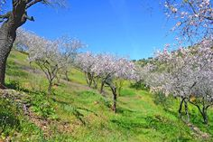 The first almond trees begin to bloom in late December and in April is the flowering over. But their finest is in February-March, at least in southern Spain. Andalusia, Countryside, Southern, Bloom, Country Roads, Mountains, Spring, Almond, Plants