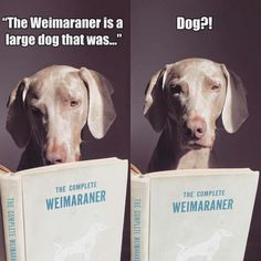 .Weimaraners really do believe they are human!