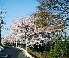 もうすぐ桜が咲く季節ですね 日本の景色や日本らしい和をテーマとした写真 . . ハッシュタグ  #写真好きな人と繋がりたい.  #写真撮ってる人と繋がりたい.  #カメラ好きな人と繋がりたい.  #ファインダー越しの私の世界.  #フォロー #写真部 #関西写真部.  #instagood #photooftheday #happy.  #tagsforlikes #followme #instafollo.  #follow4follow #webstagram #like4like.  #instadaily #instalike #likeforlike.  #life #follow #tagsforlikes #l4l. . コンテストタグ #JAL東京カメラ部2017JAPAN.