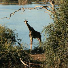 Giraffe - Prices starting at $14