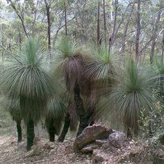 XANTHORRHOEA australis Grass Tree