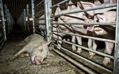 Help us save 500,000 pigs from being needlessly put down in Chile!
