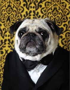 "dapperpugs: ""Paul Bearer pug. (RIP) """