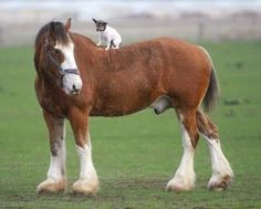 Clydesdale with a Toy Fox Terrier aboard.