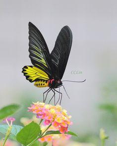 pollinating golden birdwing
