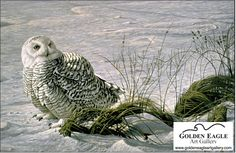 Robert Bateman - Afternoon Glow - Snowy Owl