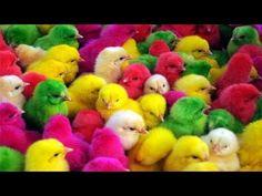 Đăng tải ngày: 2016-12-14 22:52:18; Số lượt người xem: 5137895 được đánh giá: 2.79 trên thang 5 điểm.  Thông tin về nội dung: Đàn Gà Trong Sân  Nhạc thiếu nhi vui nhộn  Giúp bé ăn ngon miệng Lời bài hát Đàn gà trong sân: Gà chưa biết gáy là con gà con Gà mà gáy sáng là con gà  Bạn đang xem Đàn Gà Trong Sân  Nhạc thiếu nhi vui nhộn  Giúp bé ăn ngon miệng tại website XemTet.com bản quyền video thuộc về Youtube. Chúc các bạn xem phim Đàn Gà Trong Sân  Nhạc thiếu nhi vui nhộn  Giúp bé ăn ngon…