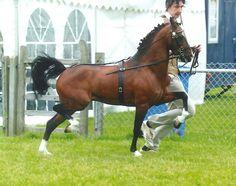 Hackney Horse | Hackney - The Jamico Stud