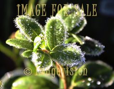 for sale frosty lingonberry leaves_zoomed