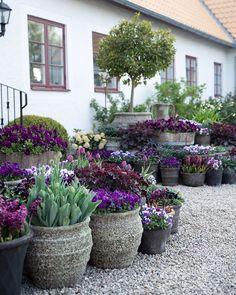 """Trädgårdsdesign & Kurser on Instagram: """"↝ ❁ Här kommer en stilla torsdagslängtan efter krukor med härliga vårblommor. Snart är januari månad över och då kan nedräkningen börja. Ha…"""" Pots, Land Scape, Container Gardening, Homesteading, Garden Design, Backyard, Exterior, Canning, Photo And Video"""
