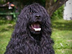 Ihre üppige Lockenpracht ist das Markenzeichen der Portugiesischen Wasserhunde