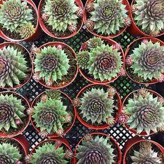Have a juicy evening, friends!  #succulents #sempervivum