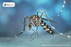 Informationen zur Asiatischen Tigermücke (Aedes albopictus), einer invasiven Art, die sich immer mehr auch in Europa ausbreitet. Diese Stechmückenart kann gefährliche Krankheiten wie z.B. Zika, Dengue- und Chikungunya-Fieber übertragen. Biogents-Fallen können die Population der Asiatischen Tigermücke bei dauerhaftem Einsatz erwiesenermaßen stark reduzieren und werden weltweit gegen sie eingesetzt.
