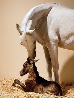Arabian mother and foal