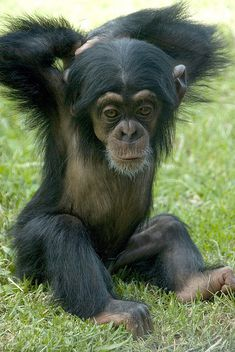 Baby Chimpanzee - big stretch...its so sad what we (humans) do to these intelligent loving creatures, please stop buying products that still do animal testing PLEASE,PLEASE, PLEASE!!! I BEG OF YOU..