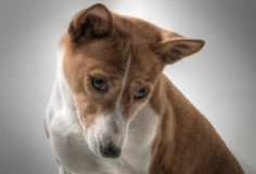 Basenji Dogs - Not From Switzerland, But They Sure Can Yodel