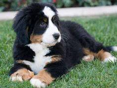 Check out the many different Bernese Mountain Dog Pictures and Bernese Mountain Dog images. Get an in depth look at the Bernese Mountain Dog and see the many things that this breed has to offer. Bernese Mountain Dog Breeders, Bernese Mountain Puppy, Mountain Dogs, Bernese Puppy, Cute Puppies, Dogs And Puppies, Doggies, Akita Puppies, Entlebucher