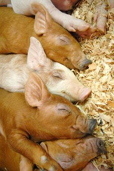 Pile of Golden and Pale Pink Pigs resting in the Barn