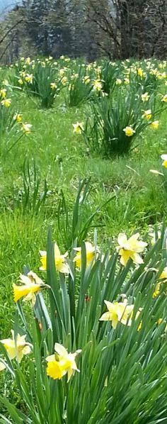 Wiese mit Osterglocken im Berner Jura bei St-Imier. Mai 2014. / Narcisses. St-Imier. Jura Bernois.